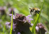 Hairy Footed Flower Bee flying to Red Dead-nettle - France