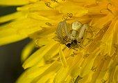 Goldenrod Spider and prey on Dandelion flower - France