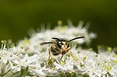 Covered pollen Common Wasp on flowers - France
