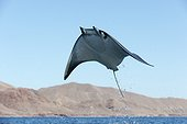 Smoothtail mobula leaping - Gulf of California