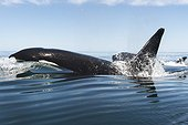 Killer whale travelling at speed - Gulf of California