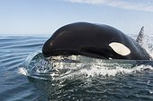 Killer whale head surging out of water - Gulf of California