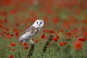 Barn Owl on a branch with poppies in the background - GB
