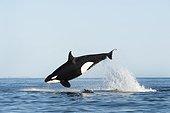 Orque attaquant un Dauphin commun - Mer de Cortez ; Le dauphin est visible sous l'orque.