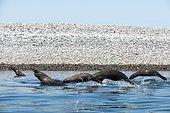 California sea lions surfing - Gulf of California
