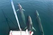 Fin whales bowriding a catamaran - Gulf of California