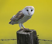 Barn Owl perched in front of a rapeseed field - GB