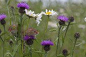 Harvest Mouses among wild flowers in summer - GB