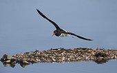 Oystercatcher in flight in winter - GB