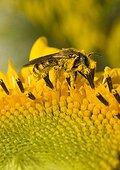Mining bee female foraging Sunflower - France