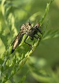 Robber Fly female eating a Flesh Fly - France ; Predatory flies feed on insects, which they perforate the cuticle. Their saliva liquefies the body of the prey before eating it.