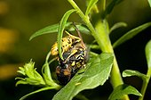 Common Wasp killing a fly - France ; to feed its larvae