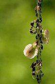 Garden Ant licking a drop of honeydew - France