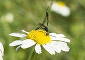 Ichneumon sur une fleur d'Aster - France