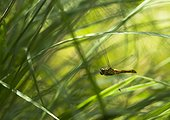 Common darter in flight over a pond - France