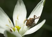 Acorn weevil on Garden star of Bethlehem flower - France