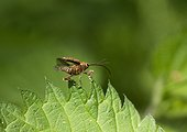 Acorn weevil flying away - France