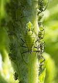 Birth of aphid - France  ; Female aphid giving birth to a female by parthenogenesis
