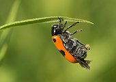 Leaf Beetle laying an egg - France ; The glossy clystre lays an egg that then covered with excremental scales using its hind legs.
