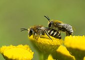 Davies' Colletes mating on Tansy - France ; Mating particularly brutal and fast, the male jumps on the female and usually they fall together.