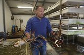Man carrying Lobsters - Northern Ireland  ; McMullan shelfish exports to france, sweden, denmark and portugal