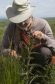Preparation of marsh thistle - Auvergne France  ; Guy Lalière prepares the marsh thistle whose stem is delicious in salad, rid of its bark and thorns