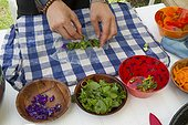 Preparing spring rolls wildflowers - Auvergne France ; Guy Lalière, naturopath botanistLinden <br>Leaves of Wild Bistort of Viola palustris, Great sorrel, Pansy. Marsh thistle stalks, stems and buds floral meadows Salsify
