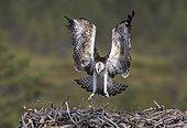 Osprey landing on the nest in summer - Finland