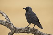 Jackdaw perched in a tree at spring - Spain