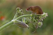 Harvest Mouse perched on a wild flower - GB