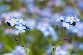 Myosotis en fleur dans un jardin