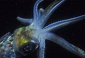 Common squid