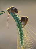 Harvest mouses amongst barley in summer - GB
