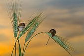 Harvest mouses amongst barley in summer - GB
