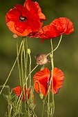 Harvest Mouse amongst poppies in summer - GB