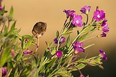 Harvest Mouse on Hairy Willowherb in summer - GB