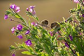 Harvest Mouses on Hairy Willowherb in summer - GB