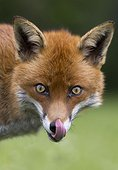 Red fox licking his lips and his nose in summer - GB