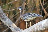 Sunbittern on branch - Brazil Pantanal