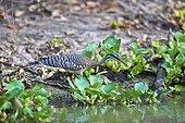 Sunbittern on bank - Brazil Pantanal