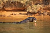 Giant otter in the water - Brazil Pantanal