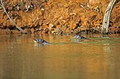 Giant otters in water - Brazil Pantanal