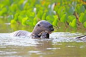 Giant otter eating a fish in water - Brazil Pantanal