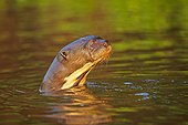 Portrait of Giant otter in water - Brazil Pantanal