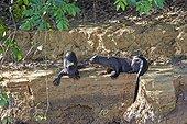 Loutres géantes sur la berge - Pantanal Brésil