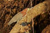 Rufescent Tiger Heron on a branch - Brazil Pantanal