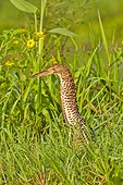 Young Rufescent Tiger Heron in grass - Brazil Pantanal