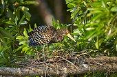 Rufescent Tiger Heron at nest - Brazil Pantanal