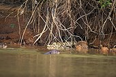 Jacare Caiman and giant otter in water - Brazil Pantanal