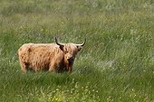 Highland cow in the tall grass - Scotland UK